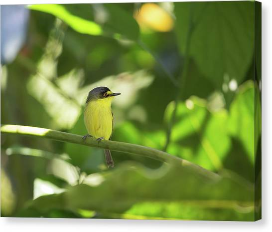 Flycatchers Canvas Print - A Yellow-lored Tody Flycatcher by Alex Saberi