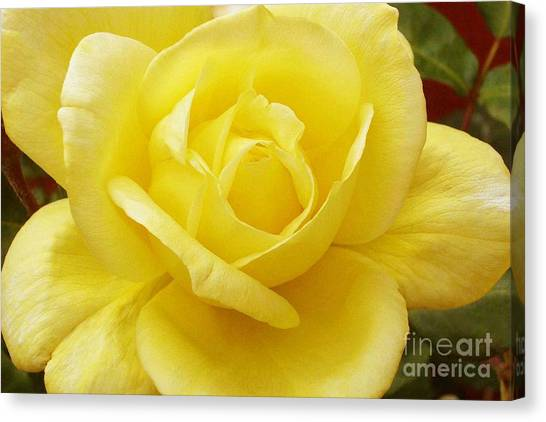 A Yellow Rose Canvas Print