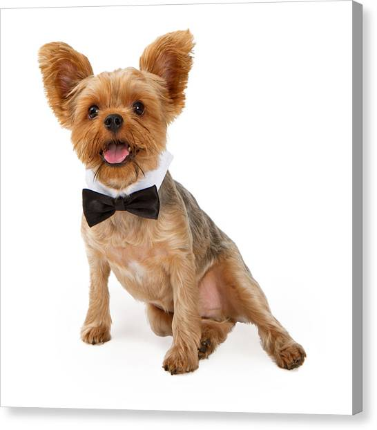 Yorkie Canvas Print - A Yorkshire Terrier Puppy With A Bow Tie by Susan Schmitz