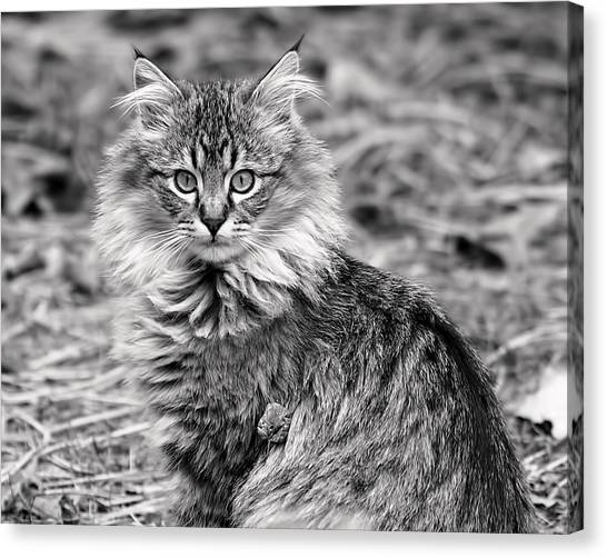 A Young Maine Coon Canvas Print