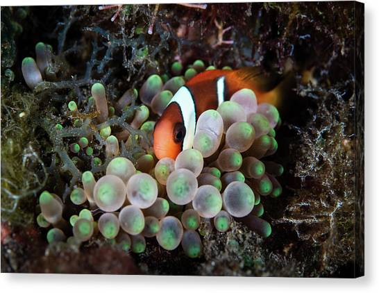 Amphiprion Melanopus Canvas Print - A Young Red And Black Anemonefish by Ethan Daniels