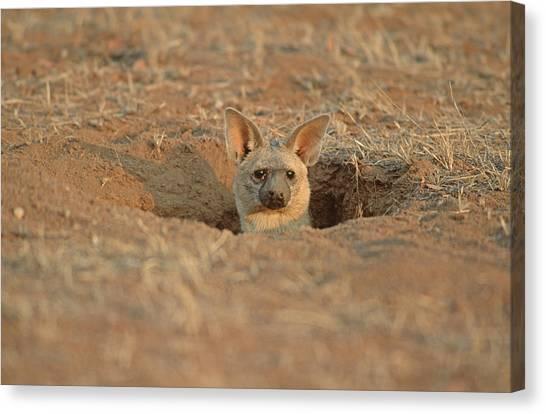 Aardwolf At Den. Damaraland District, Namibia Canvas Print by Daryl Balfour