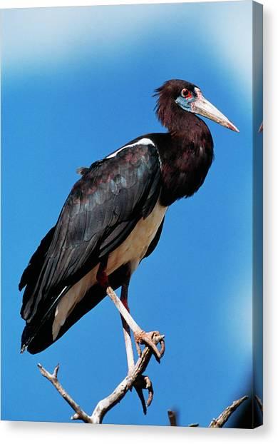 Storks Canvas Print - Abdim's Stork by Tony Camacho/science Photo Library