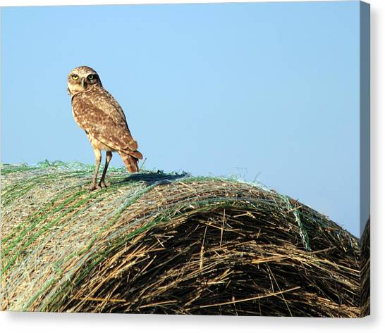 About To Bale Canvas Print