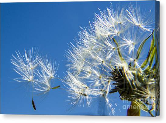 About To Leave - Dandelion Seeds Canvas Print