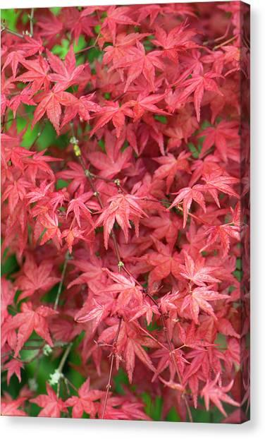 Improve Canvas Print - Acer Palmatum 'shishio Improved' Leaves by Adrian Thomas