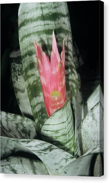 Bromeliad Canvas Print - Achemea 'primera' Flower by M F Merlet/science Photo Library