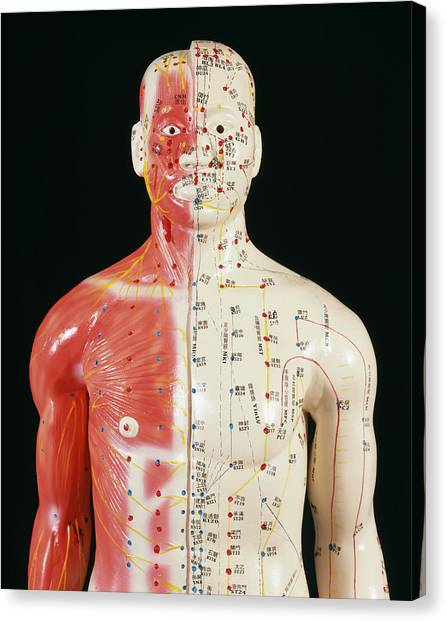 Dummies Canvas Print - Acupuncture Model by Mark Thomas/science Photo Library