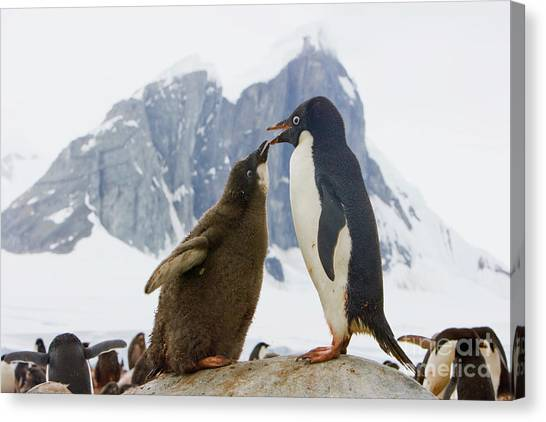 Submission Canvas Print - Adelie Penguin Chick Begging For Food by Yva Momatiuk John Eastcott