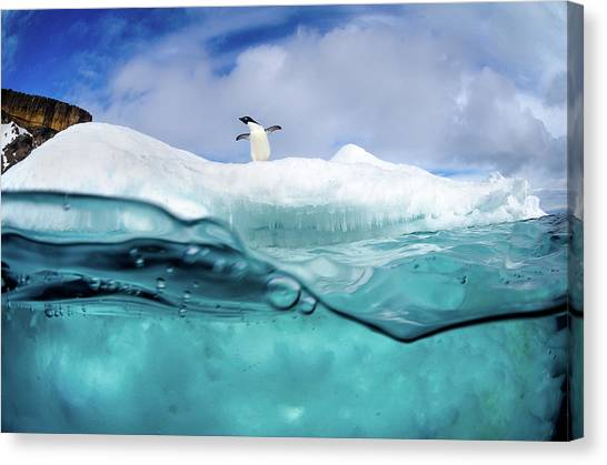 Antarctica Canvas Print - Adelie Penguin On Iceberg by Justin Hofman