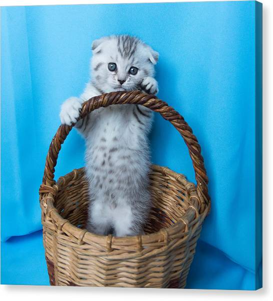 Scottish Folds Canvas Print - Adorable Cutie by Sadykova Guzyaliya