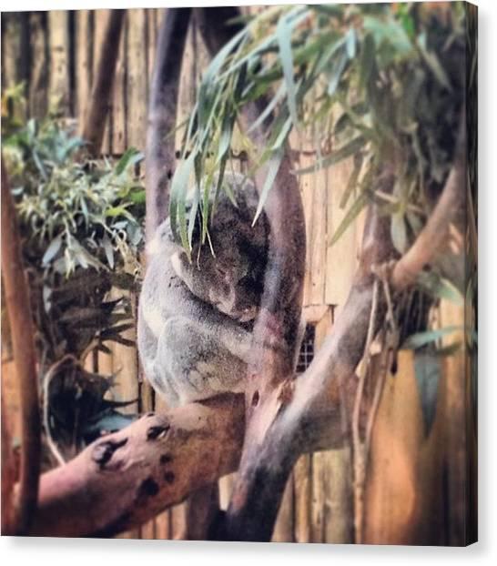Koala Canvas Print - #adorable #koala #monstermarsupial by Danielle McComb