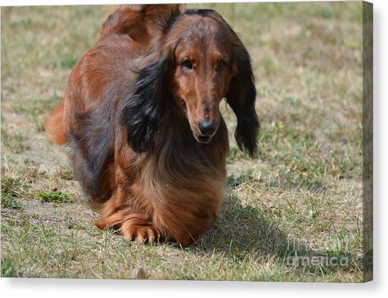 Adorable Long Haired Daschund Dog Canvas Print