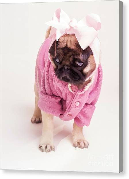 Pugs Canvas Print - Adorable Pug Puppy In Pink Bow And Sweater by Edward Fielding