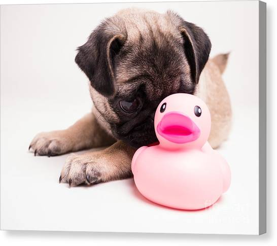 Pugs Canvas Print - Adorable Pug Puppy With Pink Rubber Ducky by Edward Fielding
