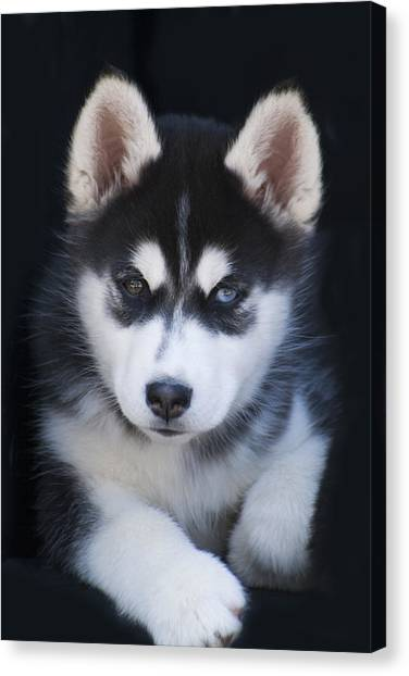 Adorable Siberian Husky Sled Dog Puppy Canvas Print