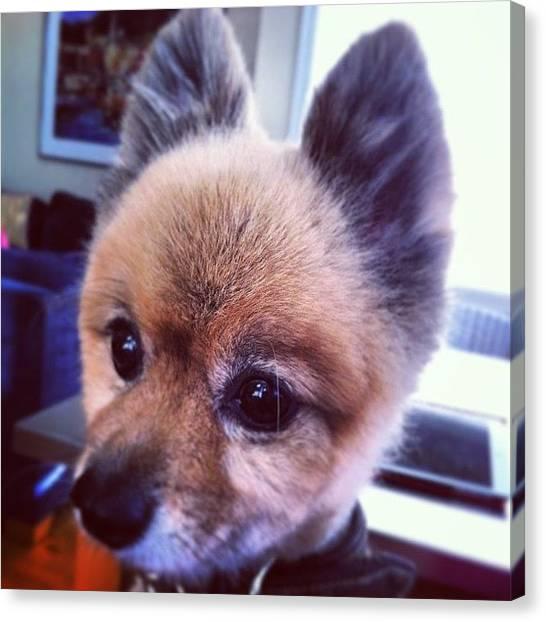 Pomeranians Canvas Print - Adorable....enough Said!  #pom by Lauren E