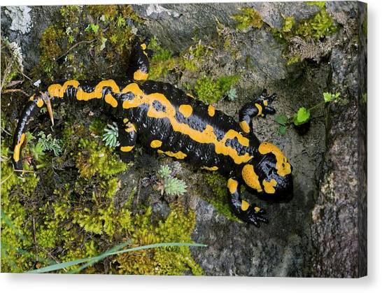 Salamanders Canvas Print - Adult Fire Salamander by Bob Gibbons/science Photo Library