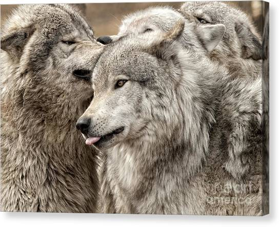 Adult Timber Wolf Canvas Print