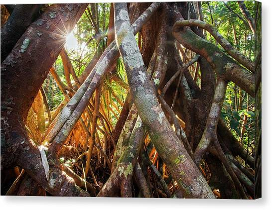 Tropical Rainforests Canvas Print - Aerial Tree Roots by Alex Hyde