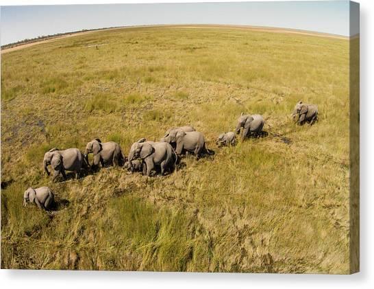Okavango Swamp Canvas Print - Aerial View Of Elephants In Okavango by WorldFoto