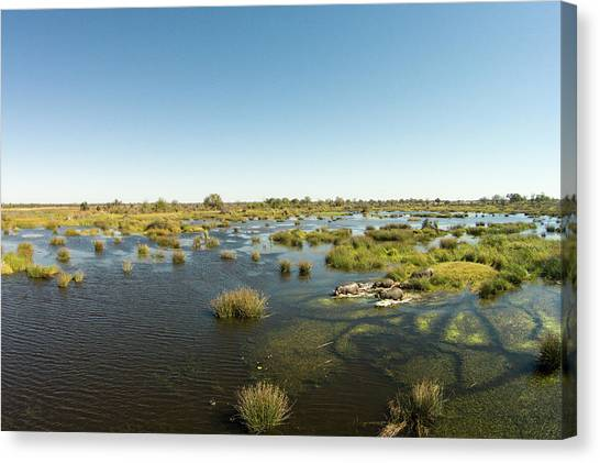 Okavango Swamp Canvas Print - Aerial View Of Hippopotamus, Moremi by WorldFoto