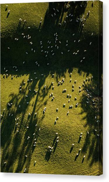 Aerial View Of Sheep Grazing Canvas Print by Jason Hosking
