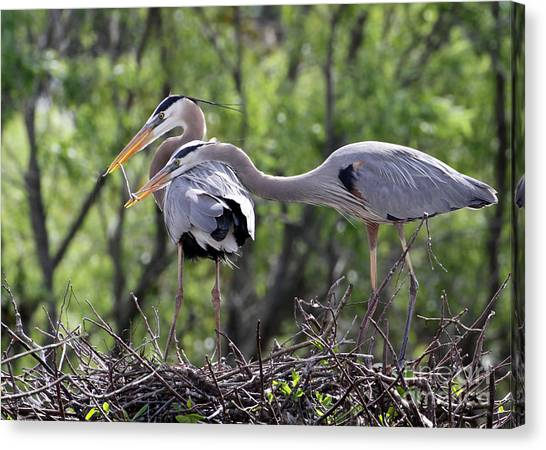 Affectionate Great Blue Heron Mates Canvas Print