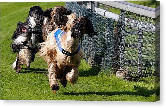 Afghan Hound Racing   Canvas Print by Olde Time  Mercantile