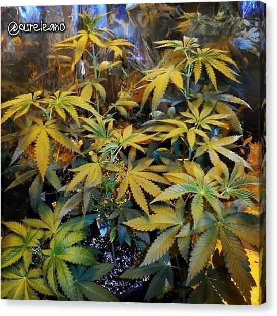 Marijuana Canvas Print - #afgooey #damnesia #moneymaker by Purelean O