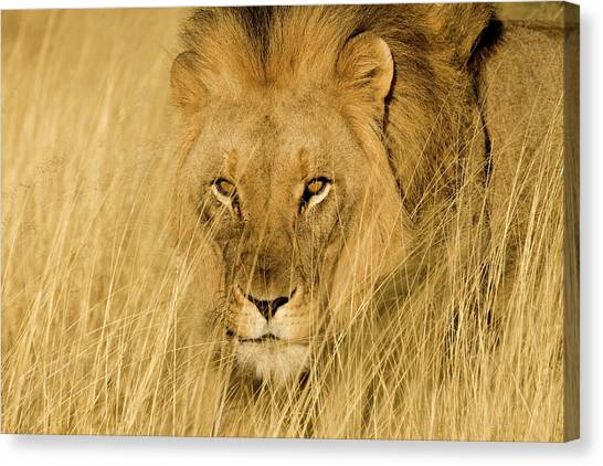 Crouching Canvas Print - Africa, Namibia Male Lion In Dry Grass by Jaynes Gallery