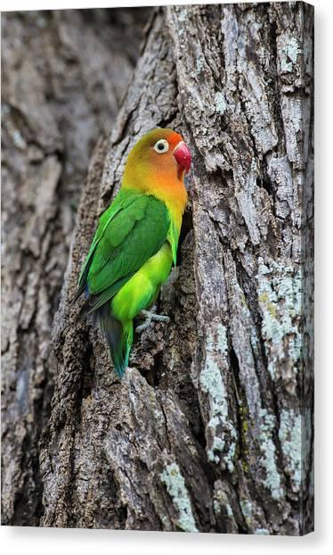 Lovebirds Canvas Print - Africa Tanzania Fischer's Lovebird by Ralph H. Bendjebar