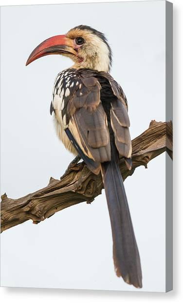 Hornbill Canvas Print - Africa Tanzania Red-billed Hornbill by Ralph H. Bendjebar