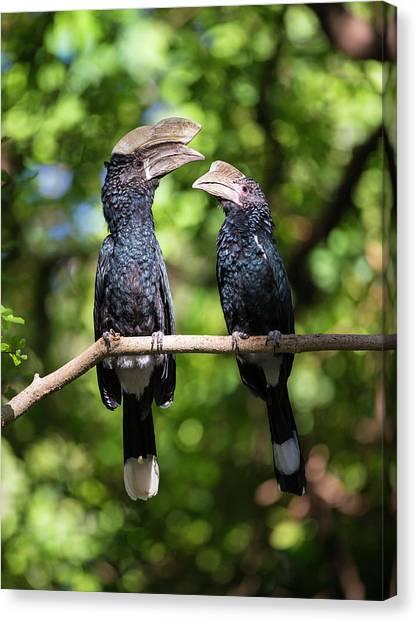 Hornbill Canvas Print - Africa Tanzania Silvery-cheeked by Ralph H. Bendjebar