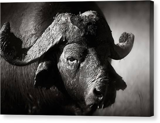 Shoulders Canvas Print - African Buffalo Bull Close-up by Johan Swanepoel