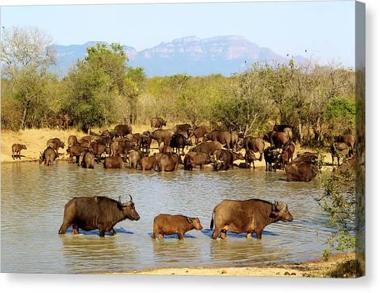 African Buffaloes Drinking Canvas Print by Heinrich Van Den Berg