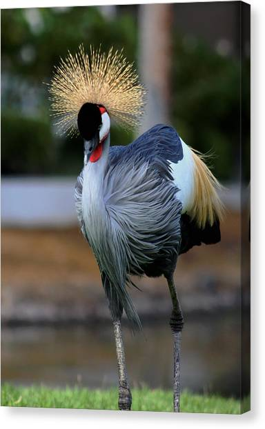 African Crowned Crane Running Canvas Print