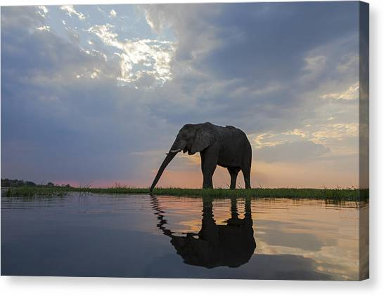 Hole In One Canvas Print - African Elephant Drinking Chobe River by Vincent Grafhorst
