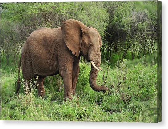 Animal Behaviour Canvas Print - African Elephant Grazing Serengeti by Thomas Marent