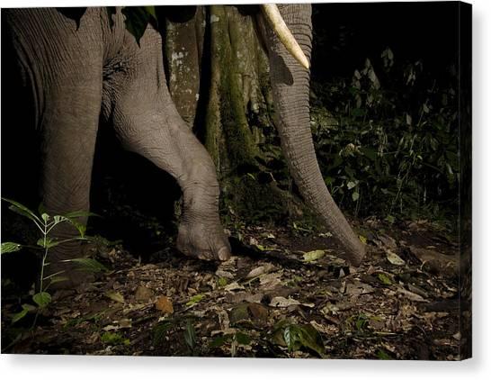 Tropical Rainforests Canvas Print - African Elephant Night Walk Kibale Np by Sebastian Kennerknecht