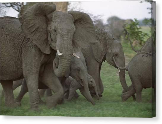 Okavango Swamp Canvas Print - African Elephants Linyanti Swamp by Gerry Ellis