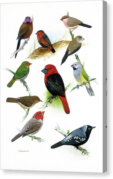 Woodcock Canvas Print - African Estrildid Finches by Natural History Museum, London/science Photo Library