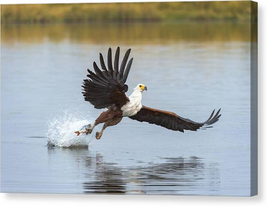 Eagle In Flight Canvas Print - African Fish Eagle Fishing Chobe River by Andrew Schoeman