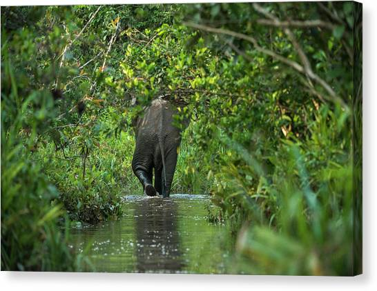 Congo River Canvas Print - African Forest Elephant, Lekoli River by Pete Oxford