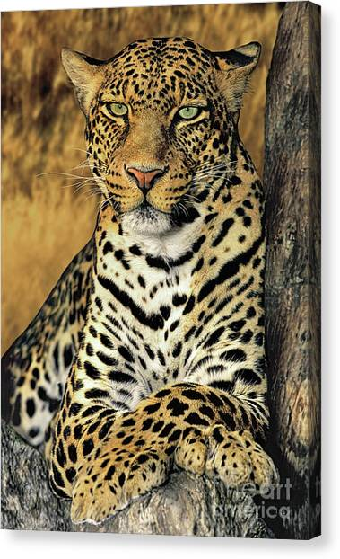 African Leopard Portrait Wildlife Rescue Canvas Print