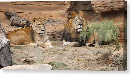 African Lion Couple 2 Canvas Print