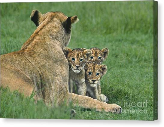 African Lion Cubs Study The Photographer Tanzania Canvas Print