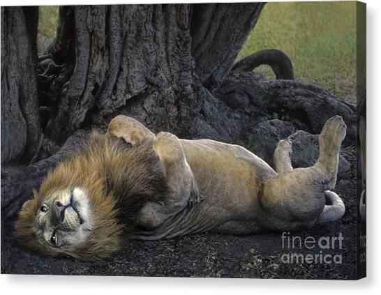 Canvas Print featuring the photograph African Lion Panthera Leo Wild Kenya by Dave Welling