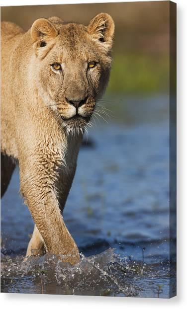 Kalahari Desert Canvas Print - African Lioness Sirga Wading Kalahari by Theo Allofs