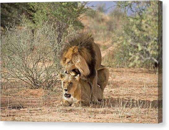 Behaviour Canvas Print - African Lions Mating by Tony Camacho